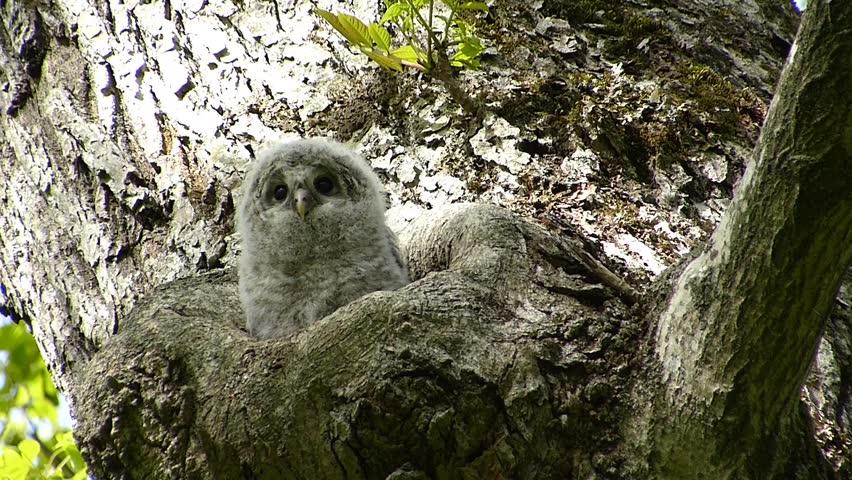 """Owl cute face. -25 / Shooting date; May 29, 2014. Location: """"Shinrinkouen"""" Hokkaido, Japan /  Baby owl bathing in the morning sun.  """"Ezofukurou"""" species name. Owl Japan cute face"""