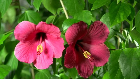 hibiscus flower.  two flowers bloom. time lapse
