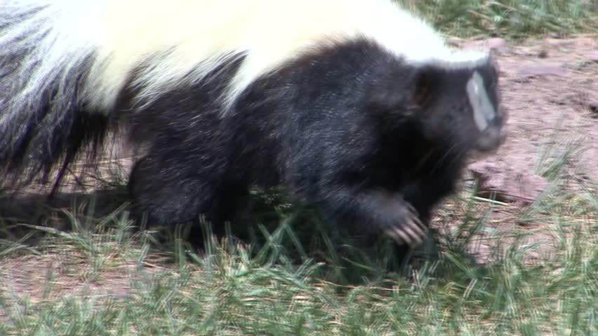 Striped Skunk Adult Lone Foraging Summer Black White