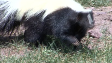 Striped Skunk Adult Lone Foraging Summer Black White