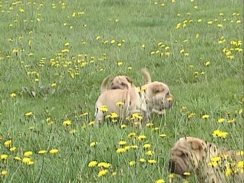Wrinkled Shar Pei pups play in meadow. All Shar-Pei puppies need early socialization with children, strangers, and other animals.