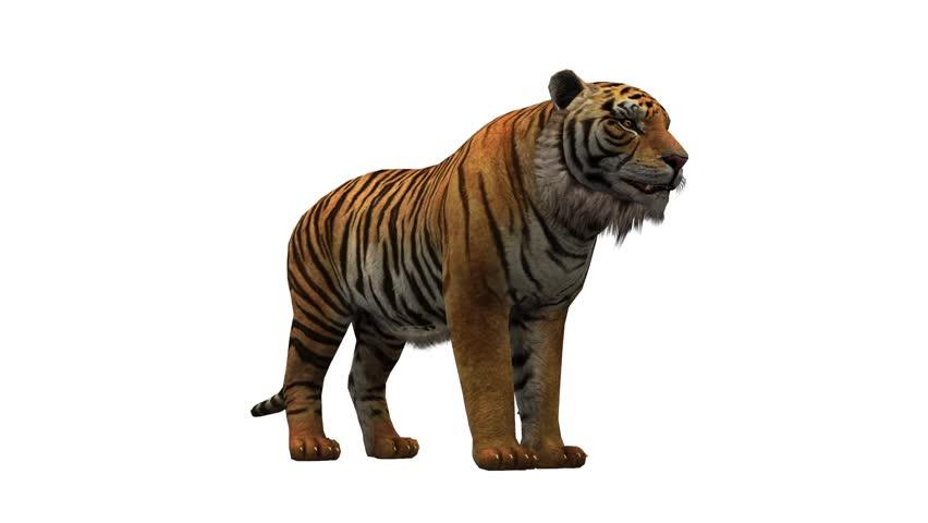Tiger open mouth roar,wildlife animals habitat.stripes pattern. cg_02063