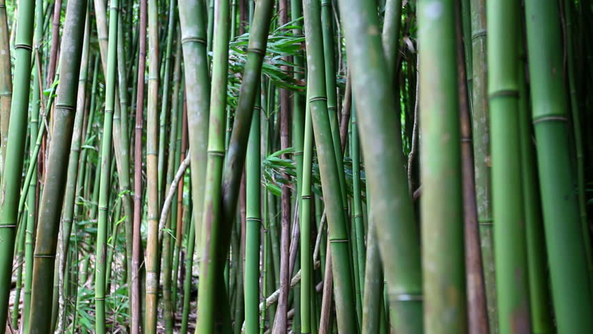 Bamboo grove in haleakala hawaii shot with canon 5d mkii using canon bamboo grove in haleakala hawaii shot with canon 5d mkii using canon l series lens stock footage video 6506564 shutterstock publicscrutiny Image collections