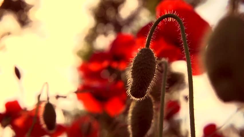 Poppy field. Blooming Poppies. Flowers. Slow motion video footage 1080 full HD