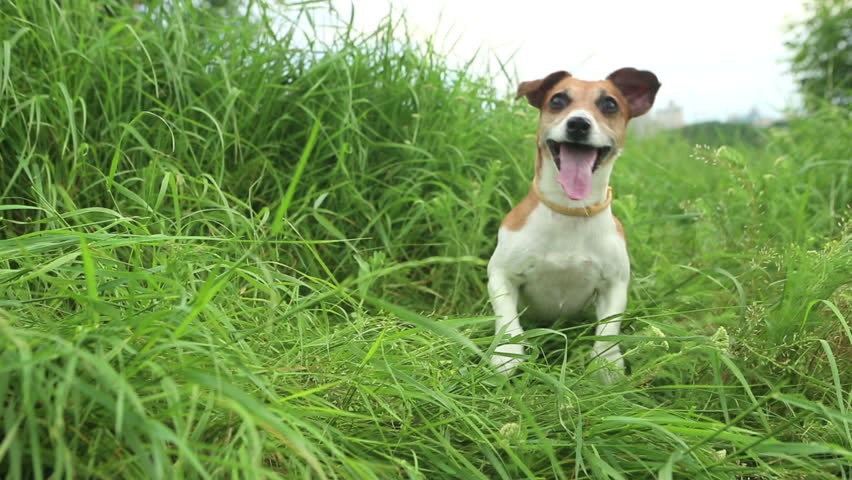 Beautiful active dog among the tall grass with open mouth jumping looking eagerly waiting for the throw stick. Running very quickly out of the frame