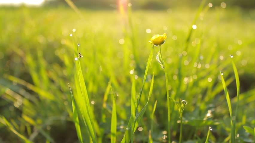 DOLLY MOTION: Background Of Dew Drops On Bright Green Grass With ...
