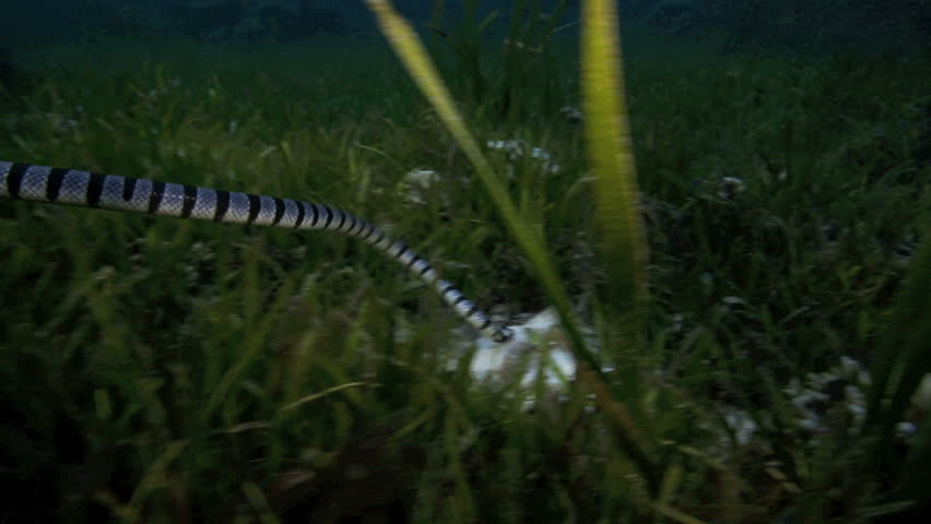 Banded sea snake (krait) hunting in seagrass at Malapascua Island, Philippines #6651617