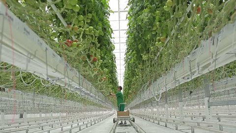 Woman agronomist collects tomatoes in the greenhouse hydroponics