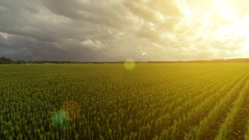 Flying over a golden cornfield in beautiful farmland with sun illuminating the field. | Shutterstock HD Video #6677918