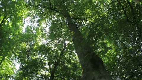 Tree with green Leaves and sun light. Bottom view in 4k high resolution