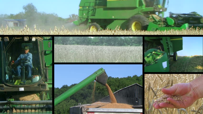 Farmer combining soybean and wheat crops during harvest composite.