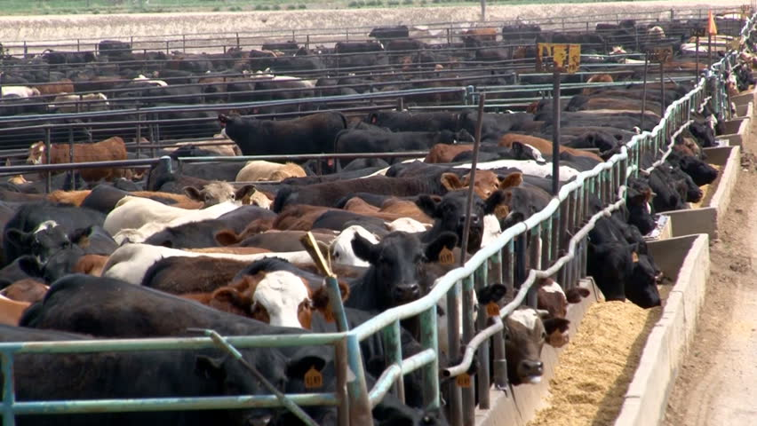Metal corrals and a feed bunk enclose several breeds of beef cattle in a crowded feedlot in Southern Colorado.