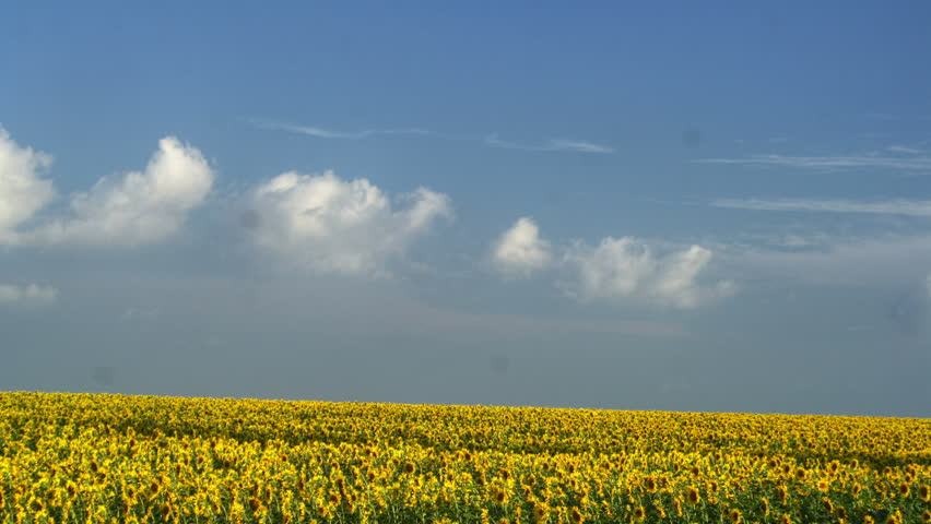 Time lapse with sunflowers and moving clouds with blue sky hdr time lapse field of sunflowers on a background cloudy sky and moving clouds summer altavistaventures Gallery