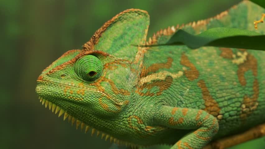 close up of a green veiled chameleon lizard