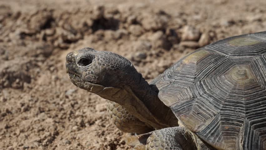 Las Vegas United States June 4 2014: Filming a safety video of the desert turtoise that is an endangered species. Desert Tortoise (Turtle) Slow Panning Shot   Shutterstock HD Video #6919852