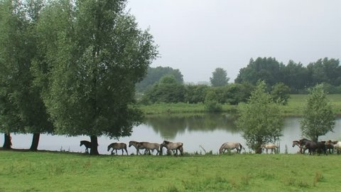 Herd of konik horses moving in a row across river landscape, following the leading mare. Blauwe Kamer nature reserve along the Lower Rhine, The Netherlands.