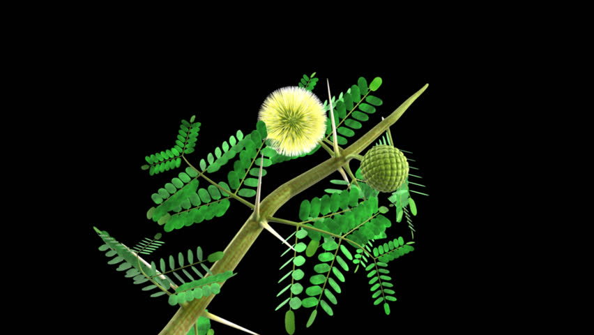 Header of Acacia arabica
