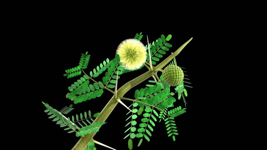 Header of Acacia arabica