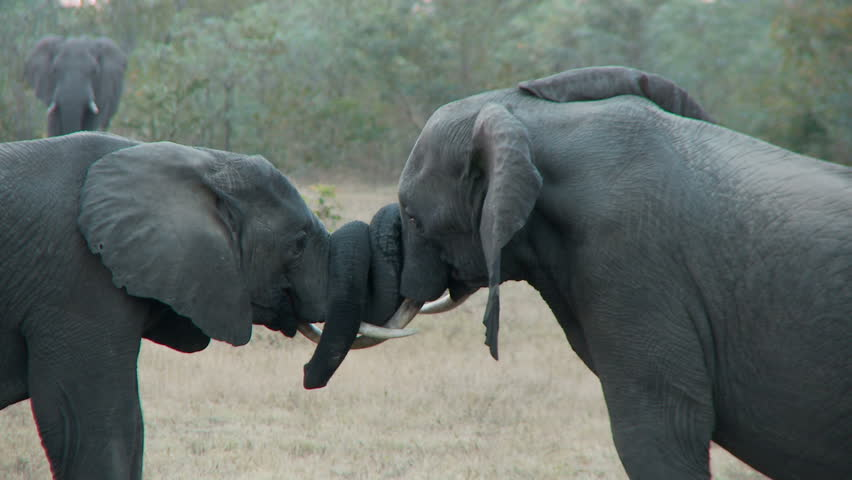 Two juvenile elephants with their trunks intertwined