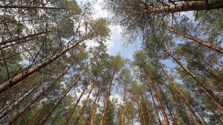 pine trees swaying in the wind, sky #711760