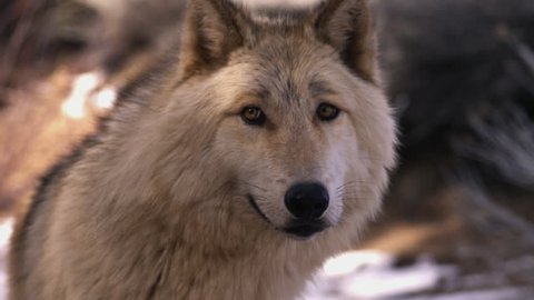 A white wolf looks around with a snowy background.