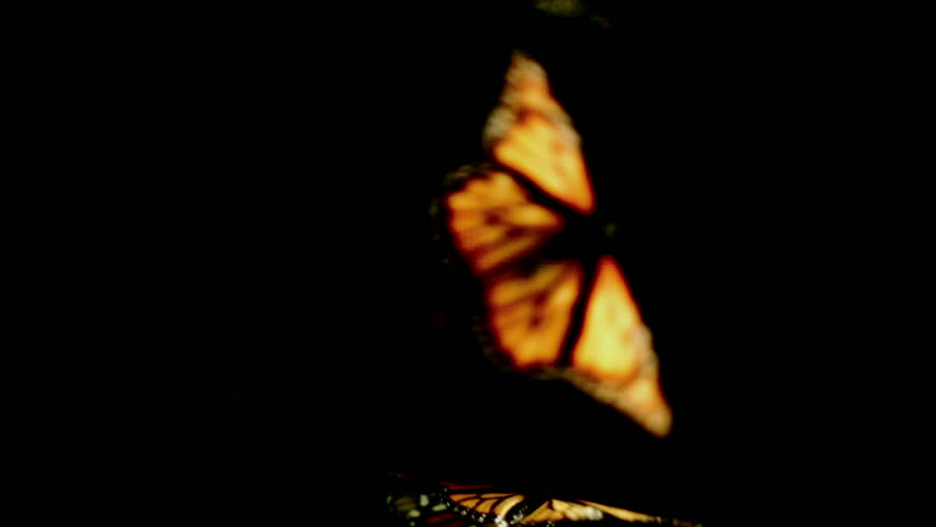 Monarch butterflies dance in and out of frame on a black background, part 2.