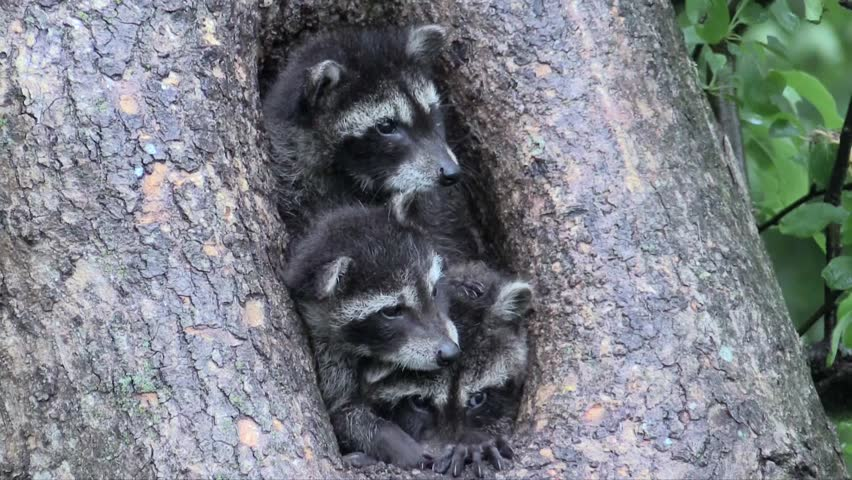Three baby raccoons jockey for position in a tree hollow
