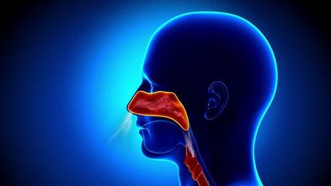 Human Sinuses Anatomy - Flu - Full Nose