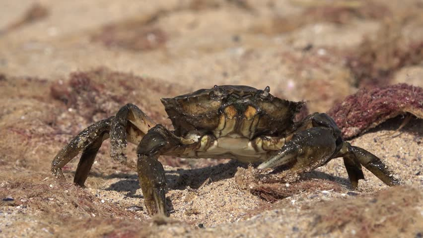 Crab sitting on rock on shore of Black Sea