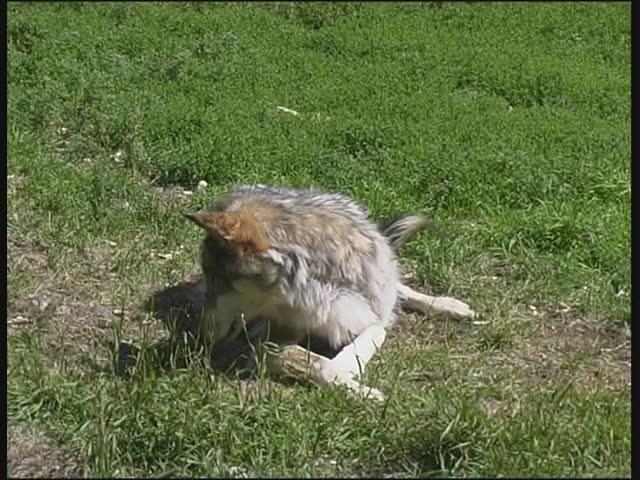 Wolf eating rabbit - photo#41