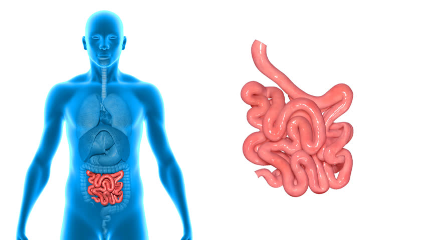 human digestive system anatomy (large and small intestine). 3d, Human Body