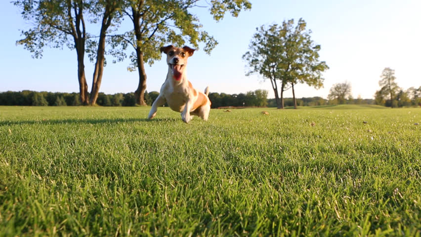 Happy wellness dog life. Young healthy active Jack Russell Terrier playing outdoors with frisbee #7270894