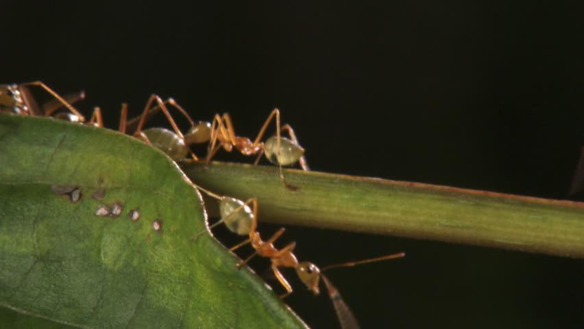 Weaver ants bite