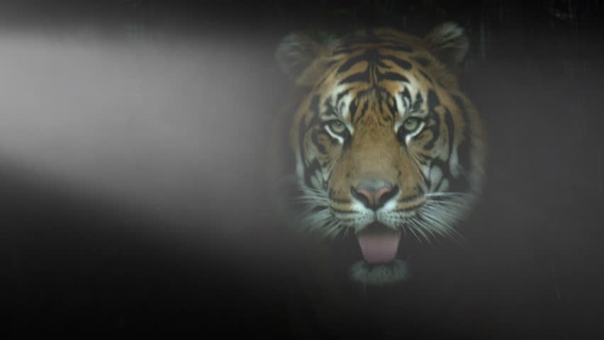Tiger Framed In Dramatic Lighting Stock Footage Video 100 Royalty Free 7403494 Shutterstock