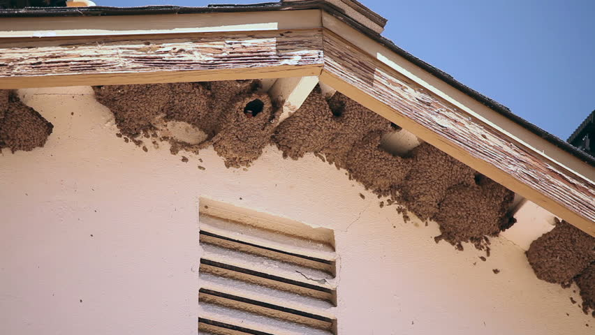 Nesting Barn Swallows Under A Roof Overhang   1920x1080. Stock Footage  Video 741724 | Shutterstock