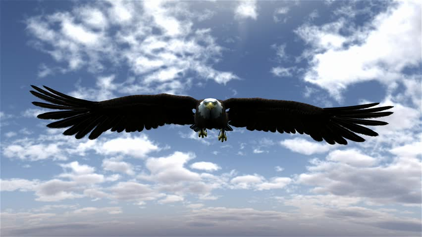 american bald eagle hunting flying in a blue sky