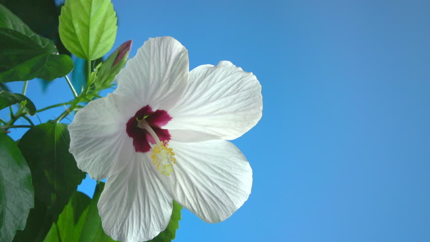 White flower blooming in time-lapse on a blue background. | Shutterstock HD Video #7524445