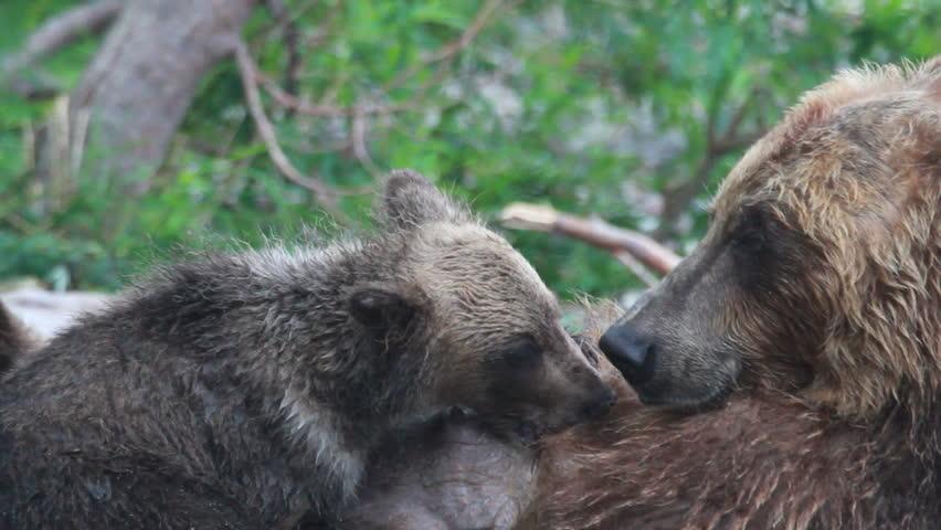 Cubs drink milk bears. #7572244