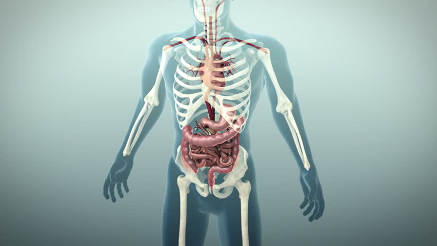 Human lungs trachea and skeleton medically accurate 3d animation 3d animation of the human gastrointestinal tract or gi tract 4k ultra hd human ccuart Choice Image