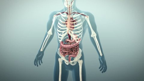 3D animation of the human gastrointestinal tract or GI tract, 4K Ultra HD. Human digestive system