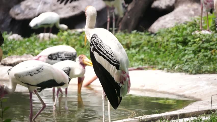 Header of adjutant stork