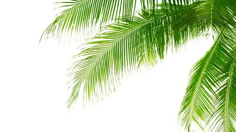 UHD video - Palm leaves isolated on white background. Good material for video-collages