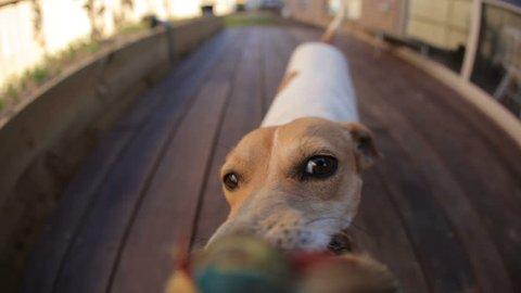 Dog tug-of-war HD