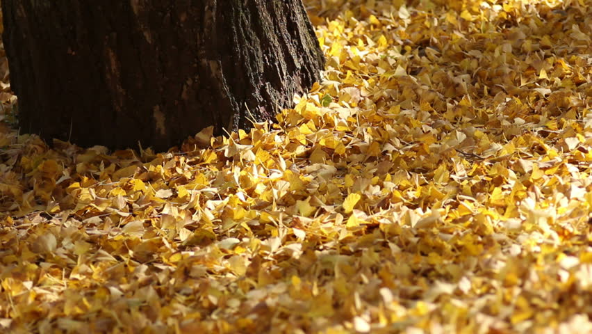Golden ginkgo leaves carpeting the ground in a Japanese park | Shutterstock HD Video #773434