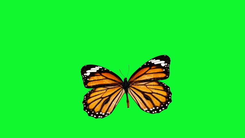 Several beautiful butterfly over green screen