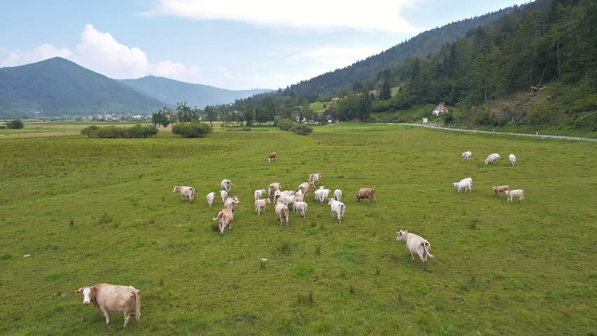 Aerial - Landscape with herd of cows on the open meadow