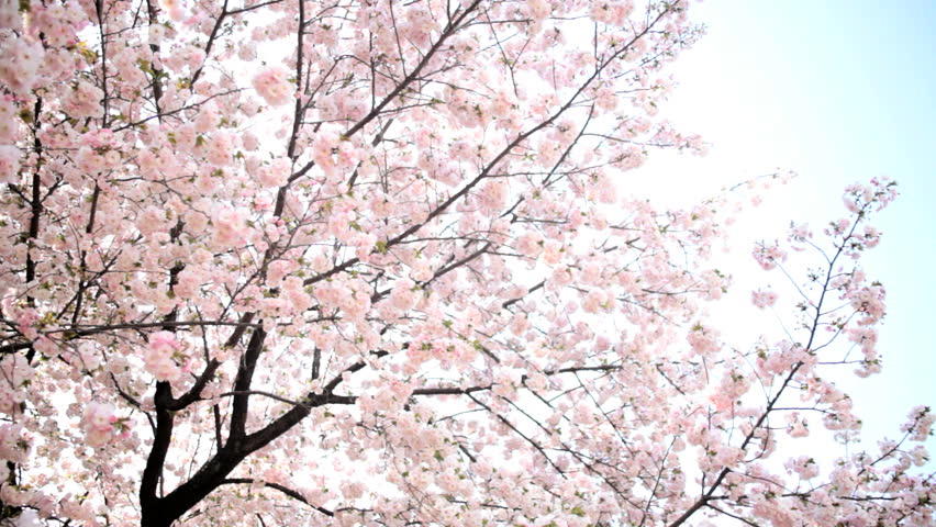 Pink Japanese Cherry Blossom Sakura Stockvideos Filmmaterial 100