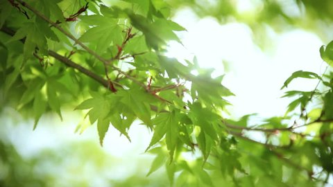 Japanese green Maple tree sun flare wind coloured leafs deciduous Koch Sanso garden no people nature travel woodland Kyoto Japan