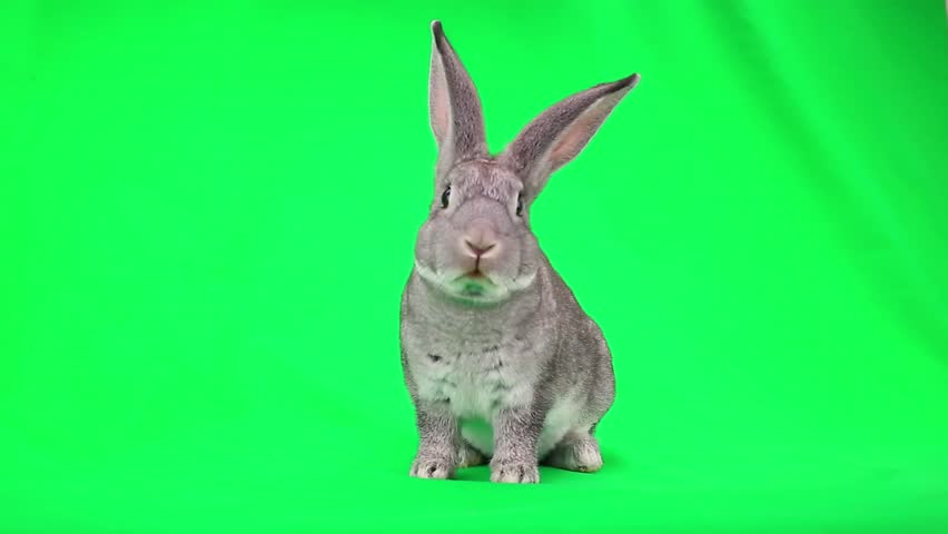 Rabbit is frightened and runs away from the green screen | Shutterstock HD Video #7835536