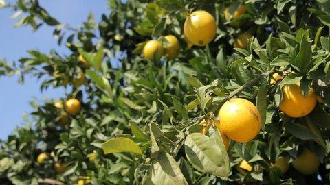 Lemon trees, branches with lemons
